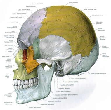 cranio.jpg